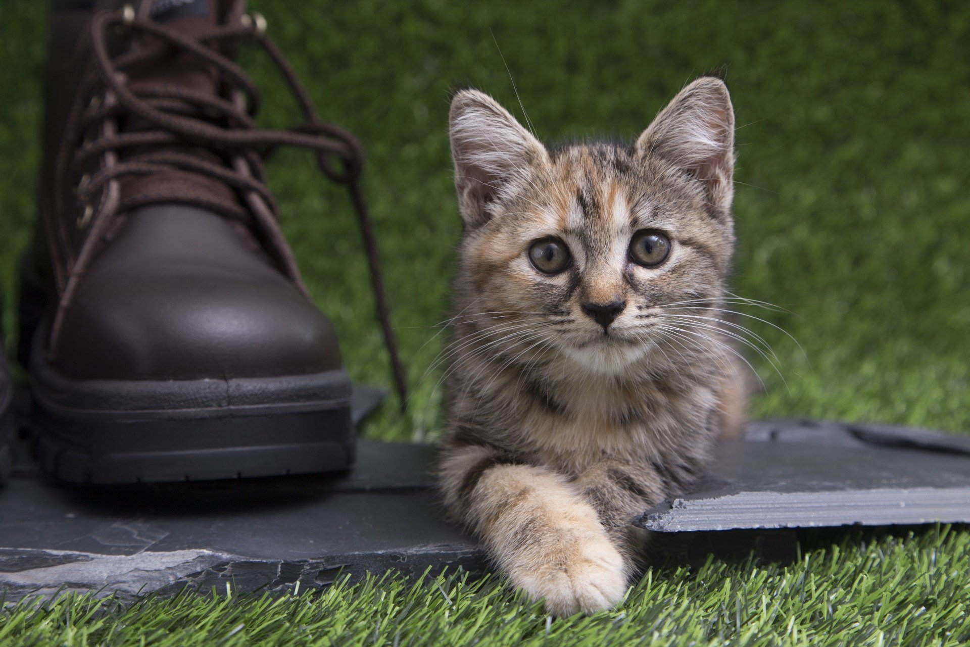 Kitten and boot on artificial grass