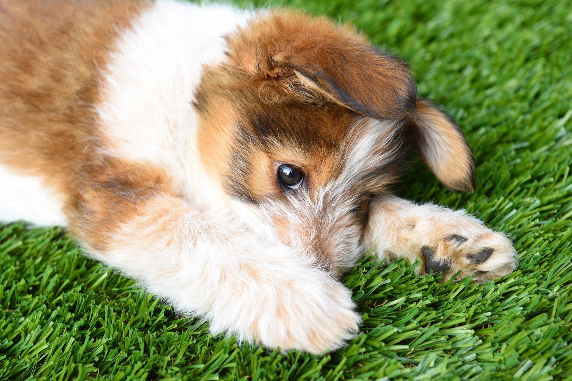 Puppy laying on artificial grass